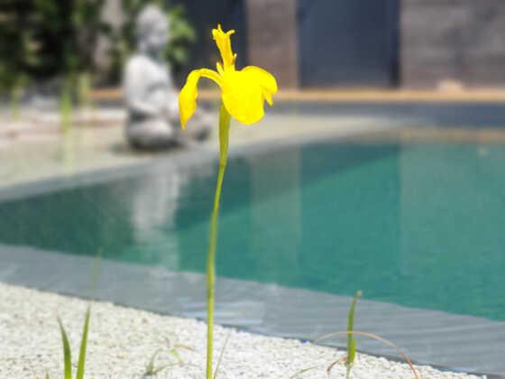 Die erste Iris blüht
