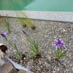 Sumpfschwertlilie versicolor